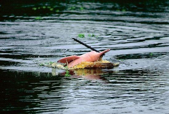 Observación de delfines rosados